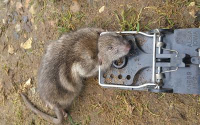 controlling a rat infestation
