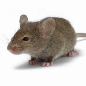 Kent pest control catching rats